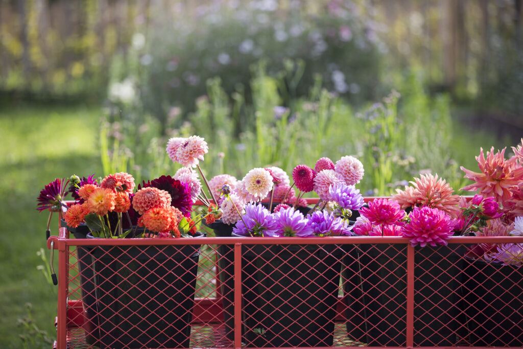 Freshly cut dahlias grown by Chiltern Sky Flowers, sitting on a trolley waiting to be turned into vibrant wedding bouquets and bunches for local deliver.