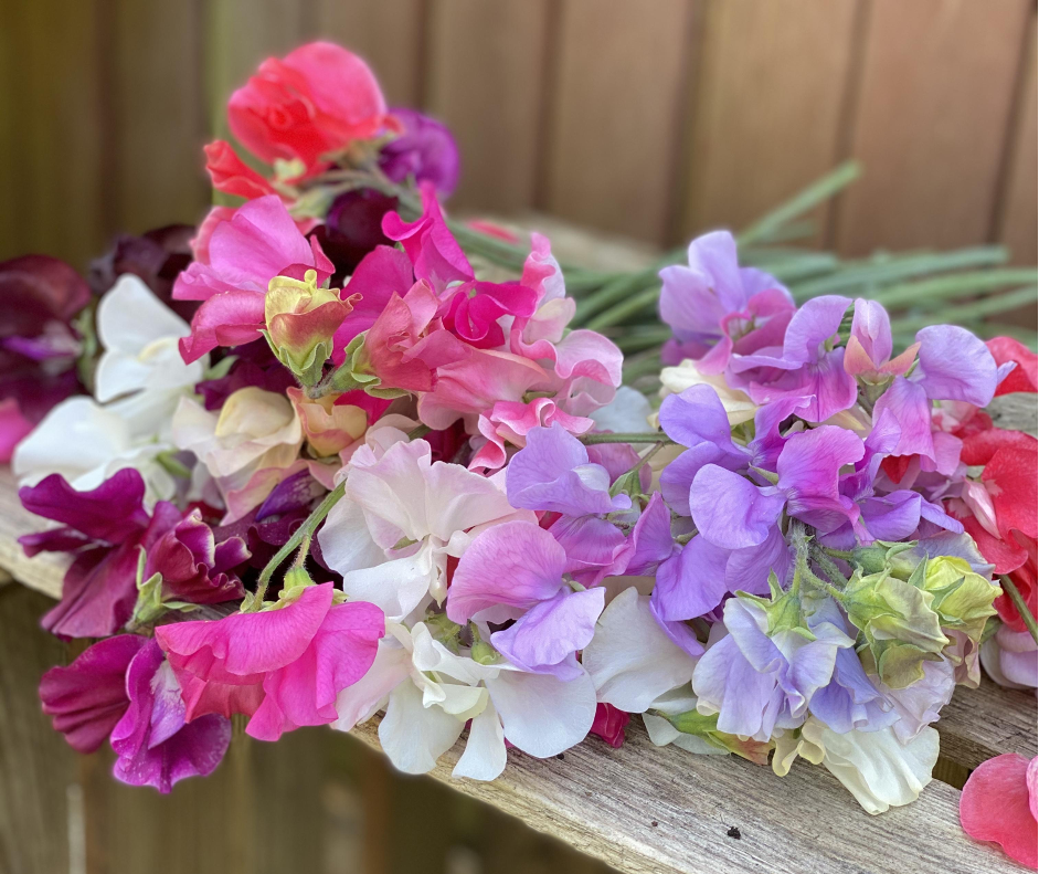 a bunch of brightly coloured scented sweet peas on a wooden table. Photo: Compton Garden Flowers.