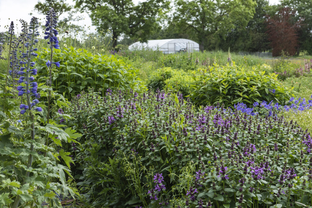The Quirky Flowers plot full of soft purple agastache and towering blue delphiniums sits on her hilly site, overlooked by the all important polytunnel where she nurtures her seedlings on her flower farm.