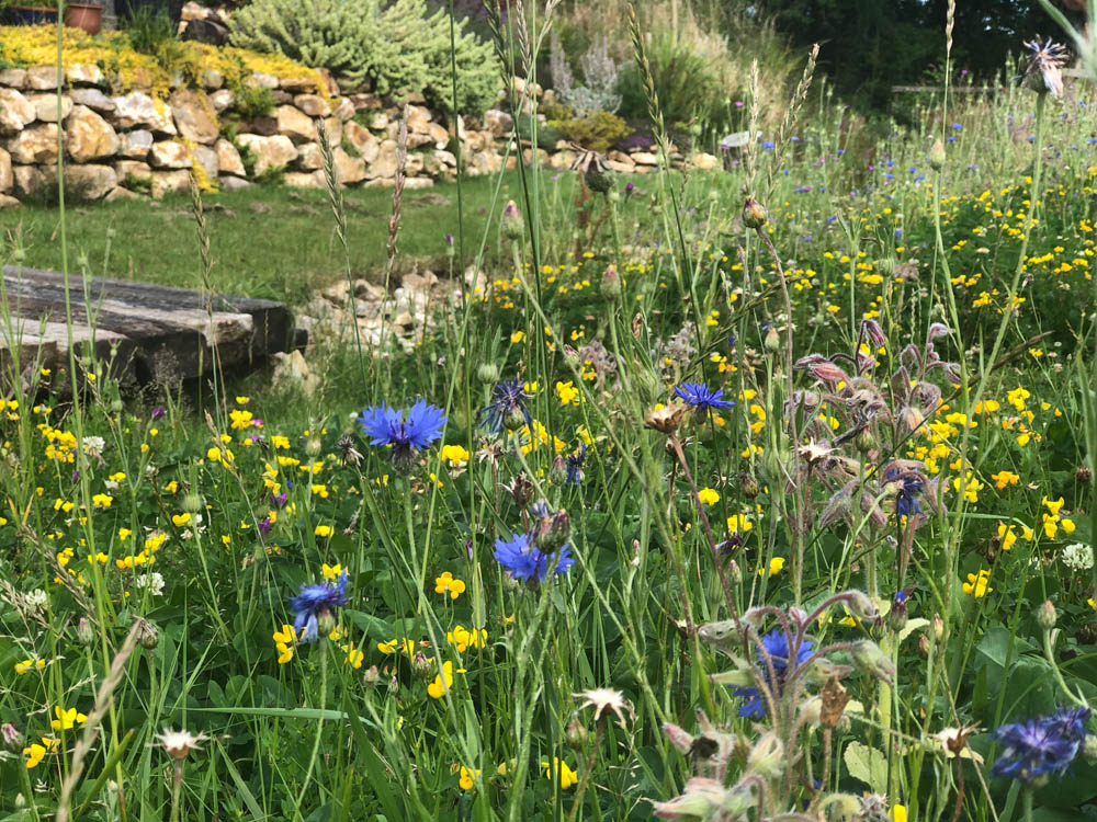 Yalham Hayes Farm flower plot produces buckets of cheery blue cornflowers in early summer.