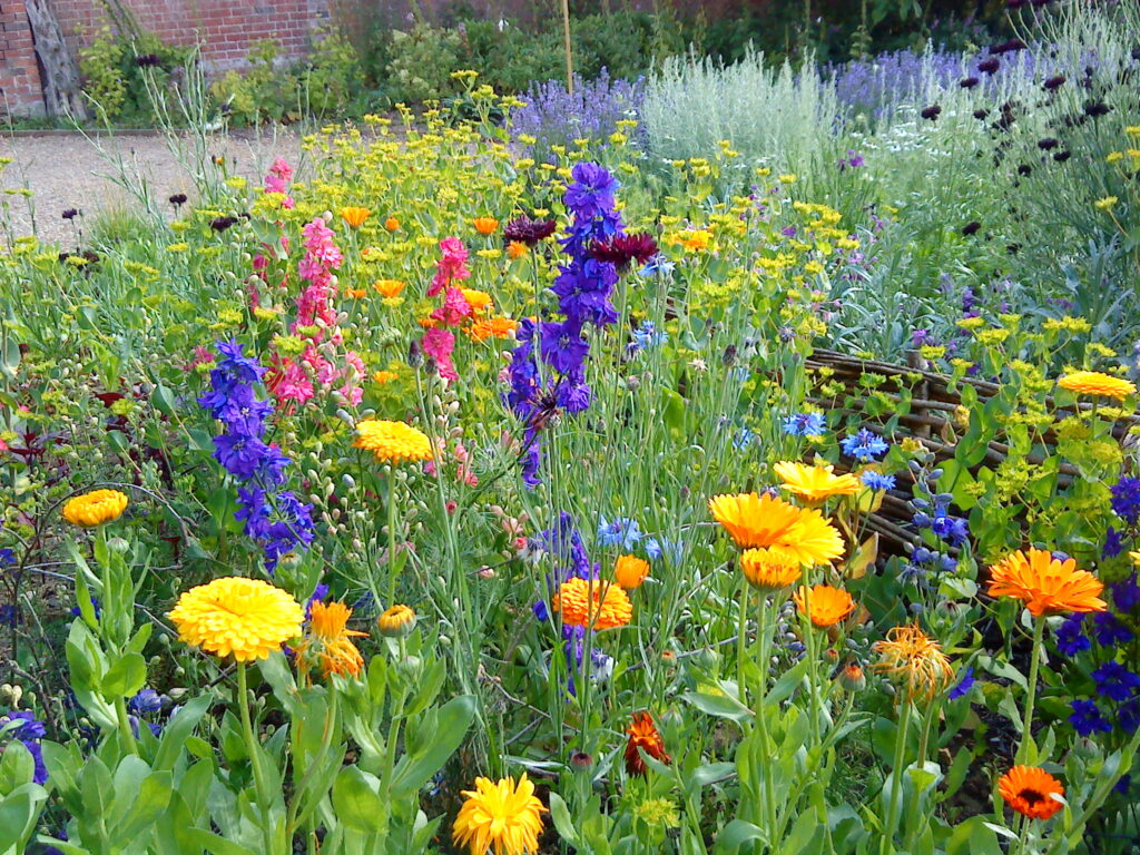 A riot of colour in the cutting bed at Catkin in summer. In the foreground are larkspur, pot marigolds, green bupleurum and blue cornflowers.