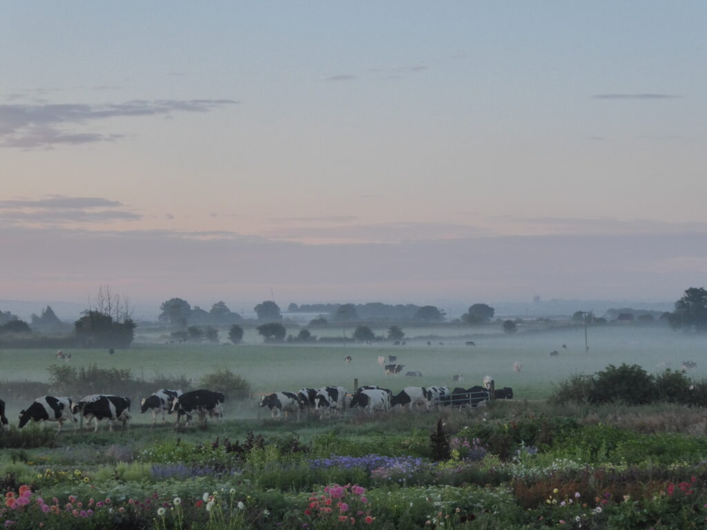 A misty summer sunrise over the bursting flower field in the Staffordhsire landscape as the cows quietly walk past the Quirky Flowers plot on their way to morning milking.