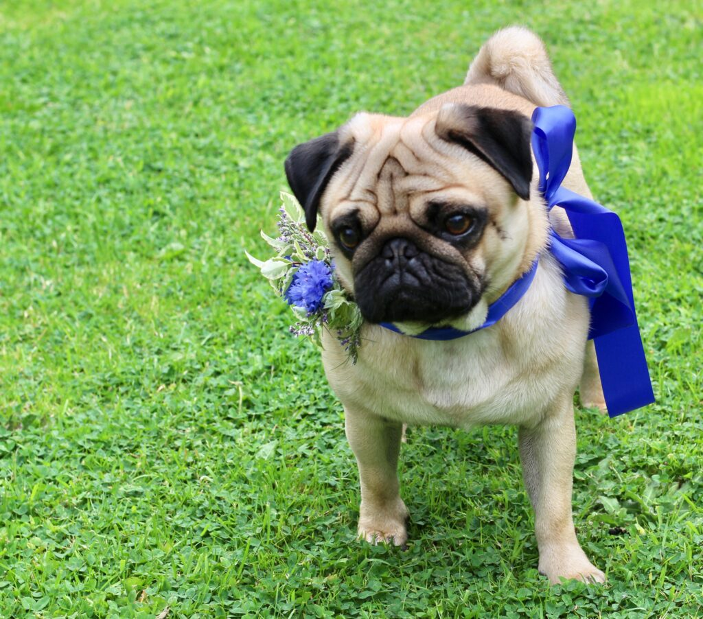 Barry the Pug is wedding ready with a cornflower accent to a royal blue ribbon collar.