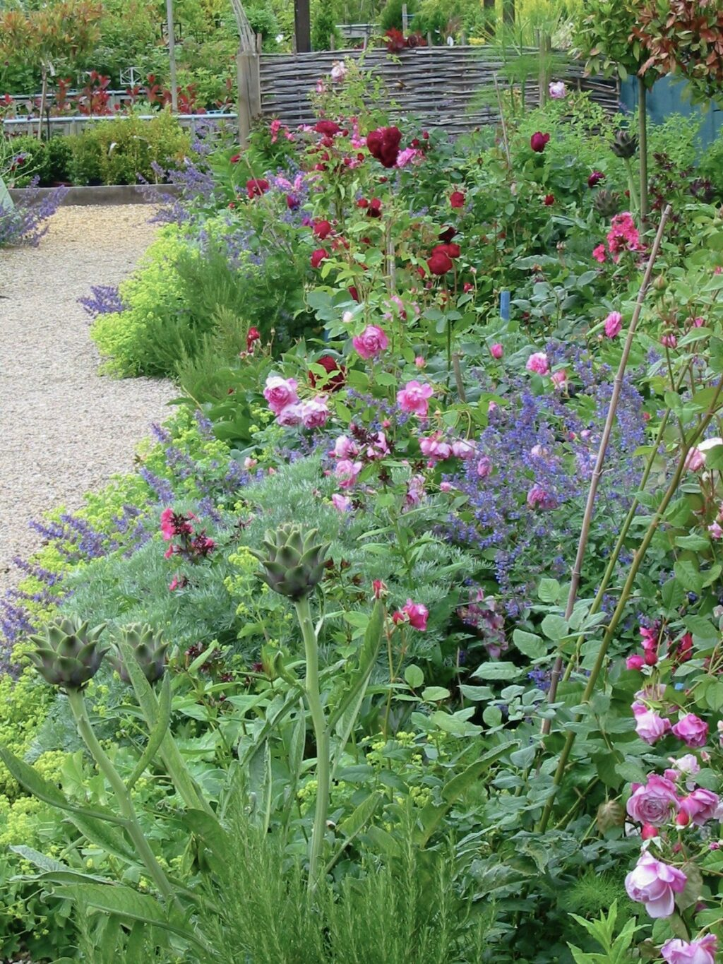 A cut flower bed at Catkin, Lincolnshire, billows with purple catnep, pale pink and deep crimson scented garden roses with the architectural forms of young artichokes in the foreground.