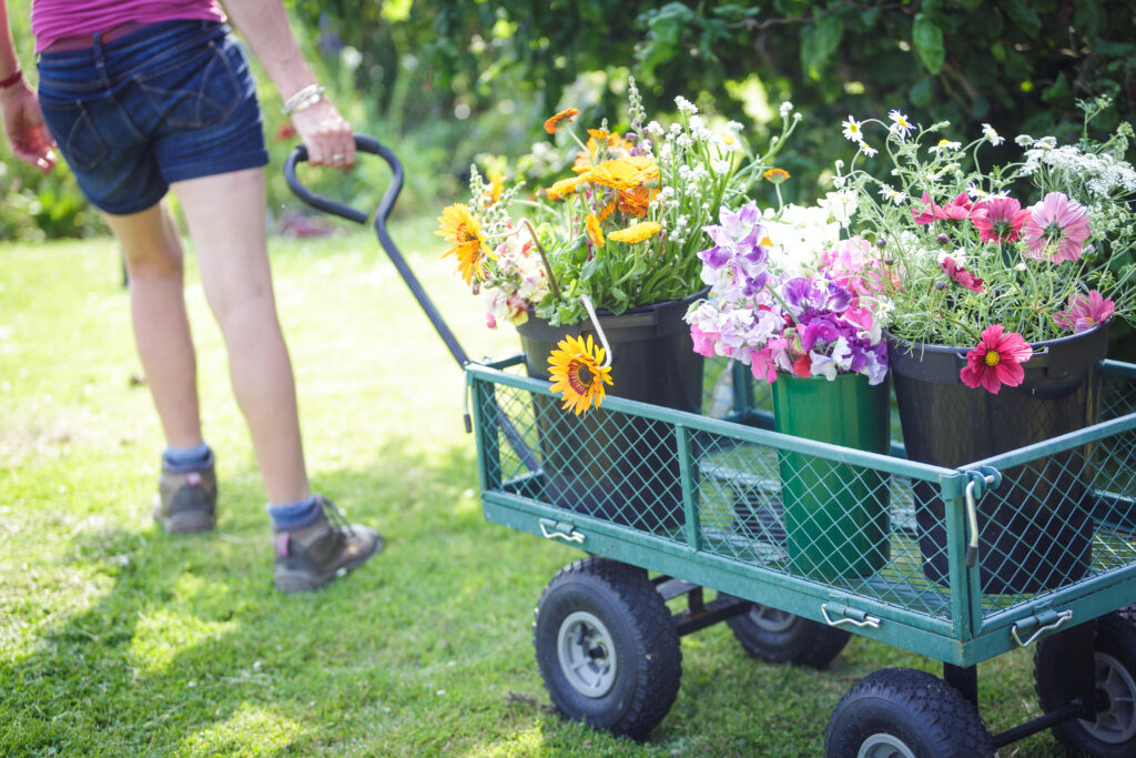Fiona of Cotswold Country Flowers pulls her laden flower trolley down the grass path on her artisan flower farm. The buckets it carries are brimming with scented sweet peas, cheery pink cosmos daisies and yellow sunflowers - all ready to become bouquets, wedding flowers and special gifts for her local customers.