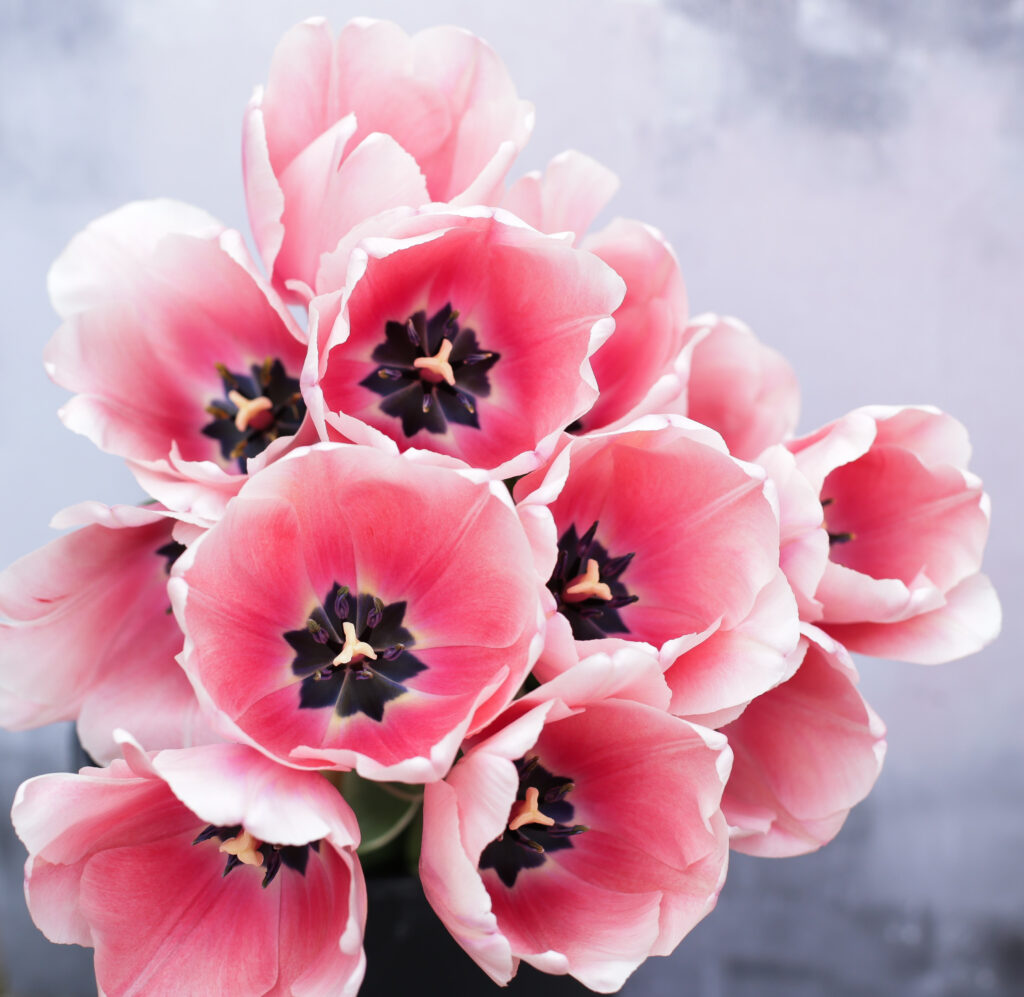 Sweet impression tulips make great cut spring flowers and open up huge soft pink goblet shaped blooms to reveal dramatic markings within. Photo: Cotswold Posy Patch.
