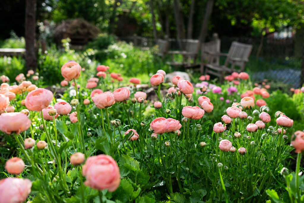 A flower bed bursting with peach ranunculus showing the delights of seasonal spring flowers grown here in the UK. Photo credit: Elder and Wild, Rebekah Critchlow.