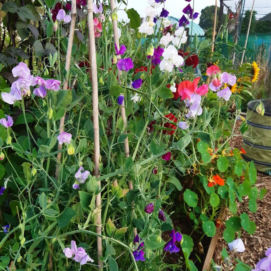 Sweet peas scramble up their cane support in the cutting patch at Emma Jayne's Garden