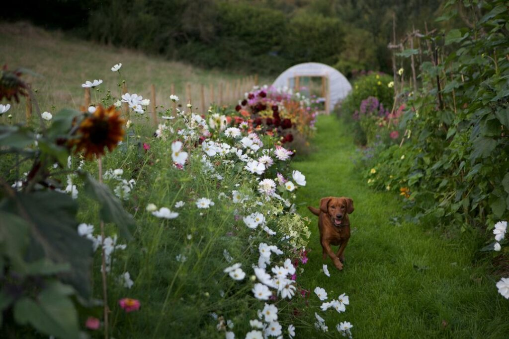 The flower plot at Floriferous, Bristol looking beautiful on a late summer evening with the dahlias in full bloom in front of the polytunnel. The flower farm dog runs happily down the path towards the camera.