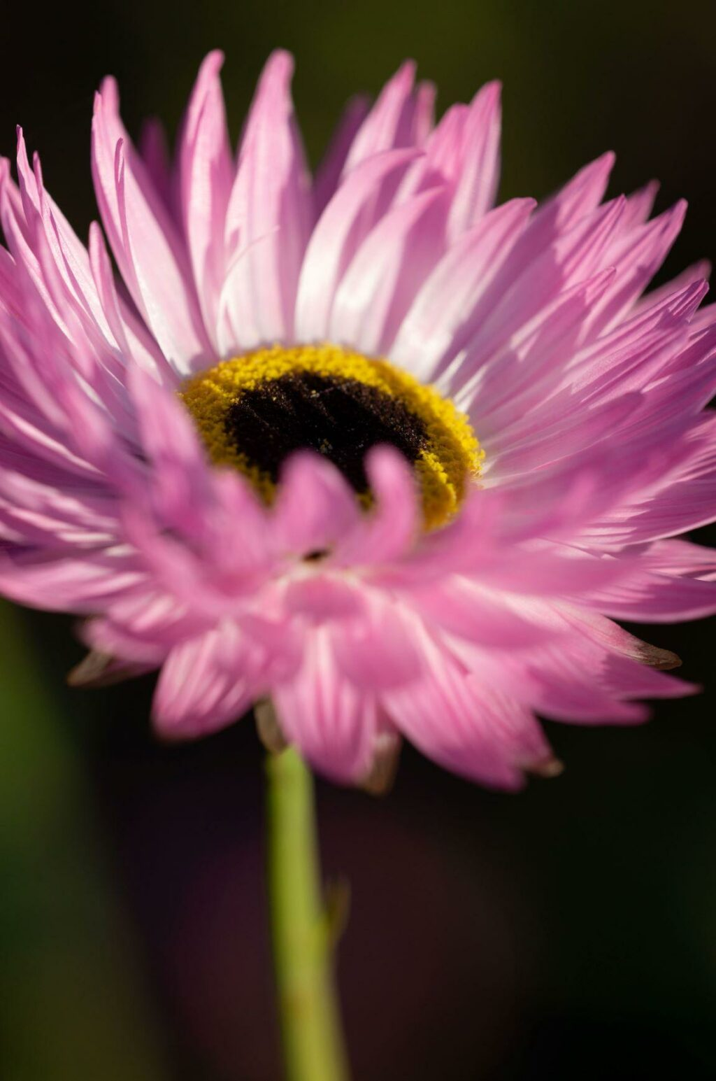 Gordon Castle grows pink daisy like acroclinium as a cut flower to use both fresh and dried.