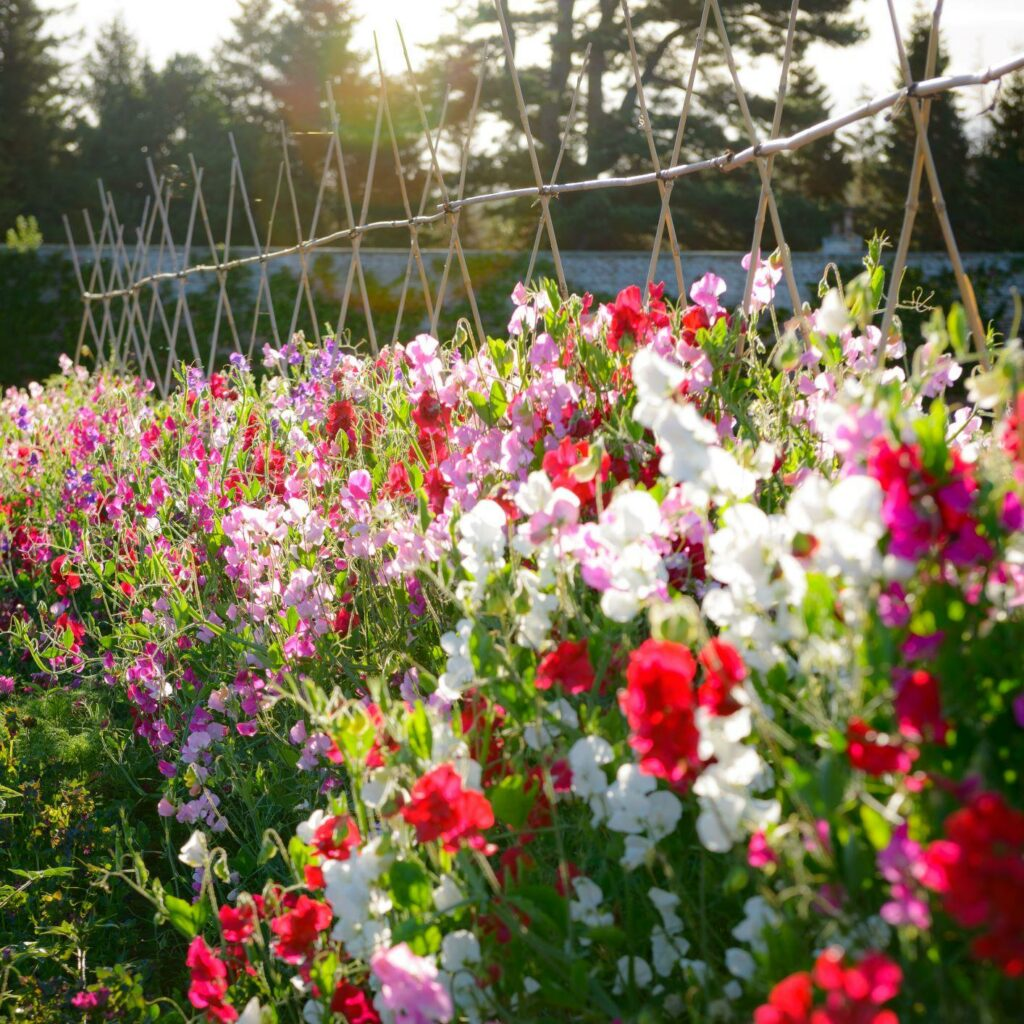Bright red and white sweet peas grow vigourously up cane supports at Gordon Castle.