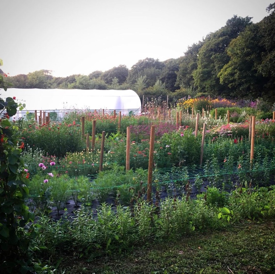 The flower plot at Green Rabbit Flowers glows softly with poppies and larkspur as evening approaches over the polytunnel.