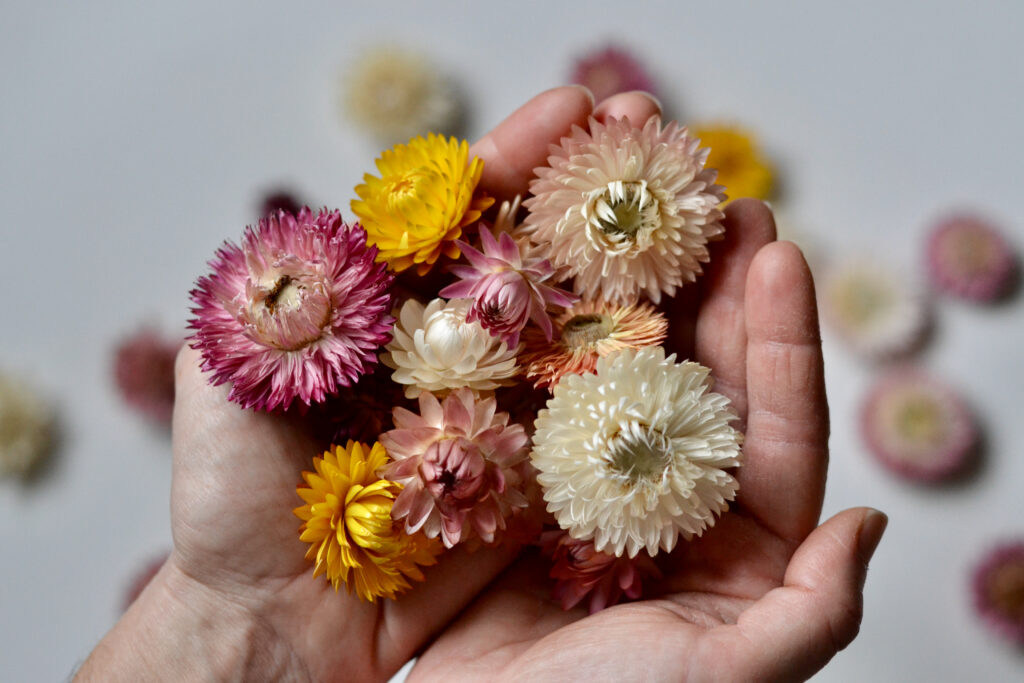 Strawflowers by Harebell and Bee. Flowers head gathered in an arrangers hands.