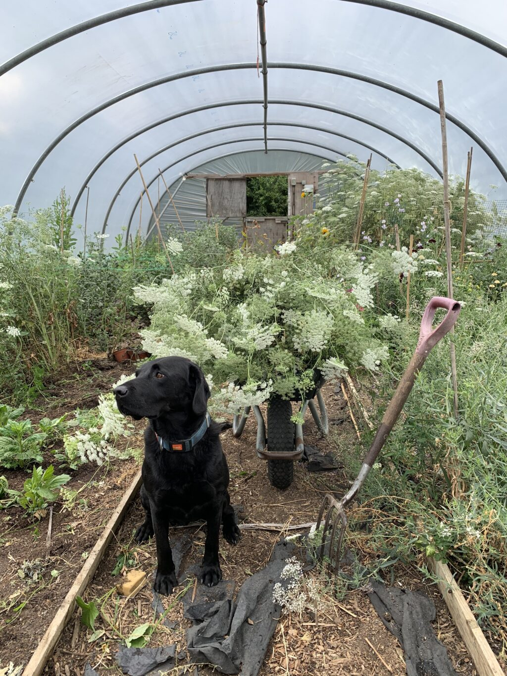A black Labrador sits in the cutting patch under the poly tunnel at Howe Farm Flowers