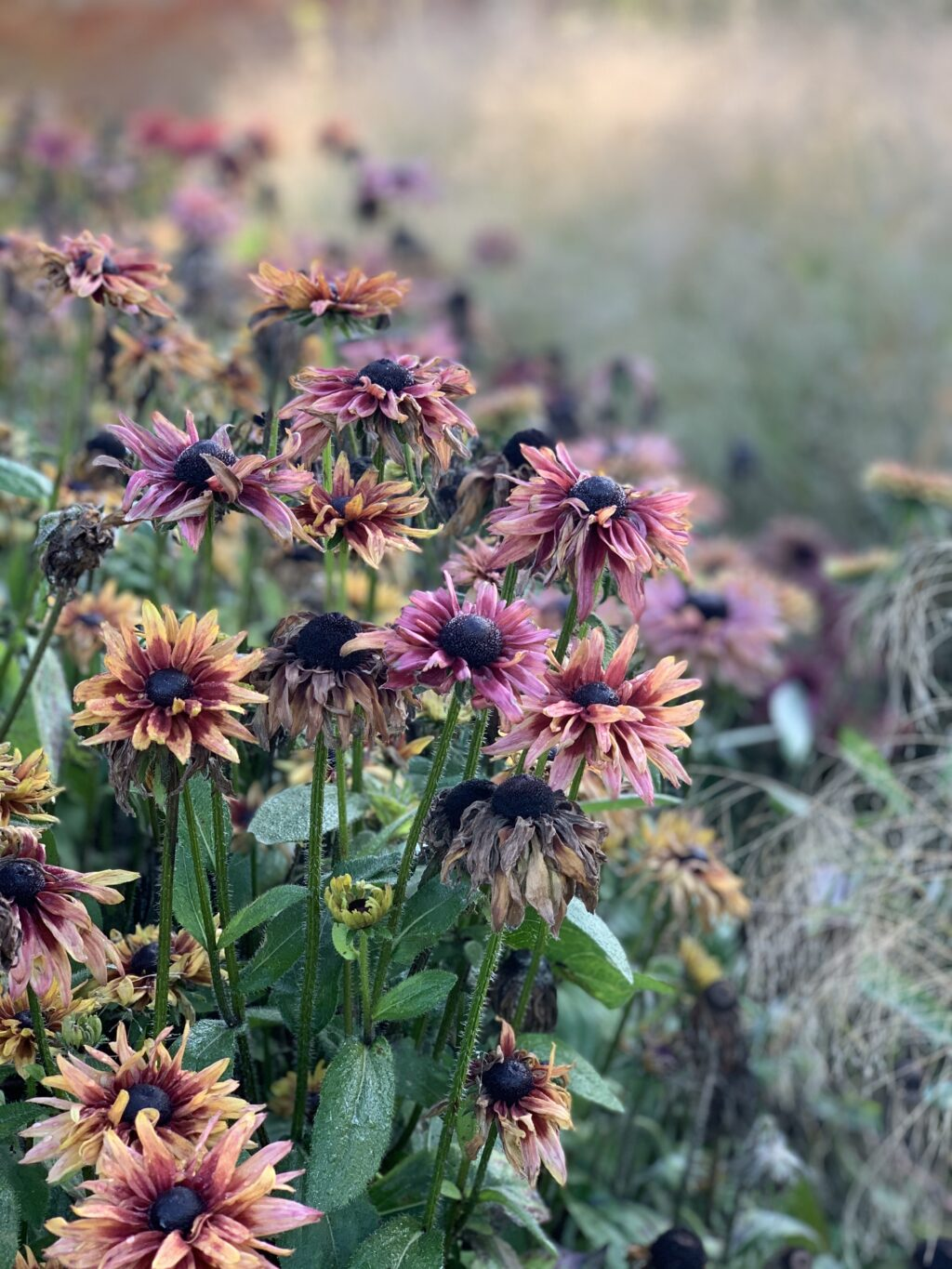 Rudbeckias in early autumn growing in the border at Keythorpe Hall.