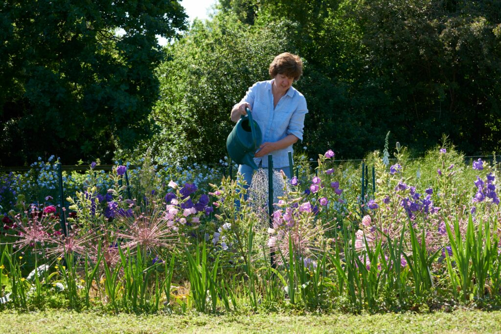 Frances of Moat Farm Flowers watering a row of tall blue and pink campanula in full bloom on a sunny summer day.