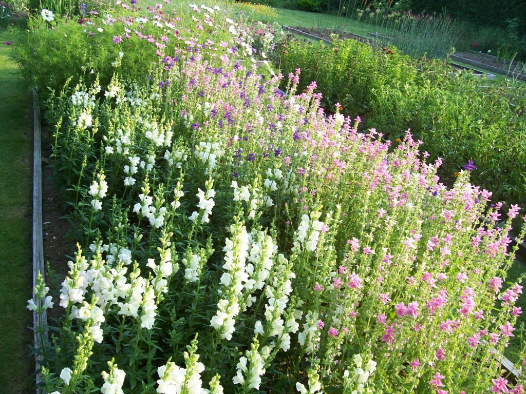 A bursting raised bed filled with the spires of white snapdragons and pink salvia at Peacock Cottage Flowers.