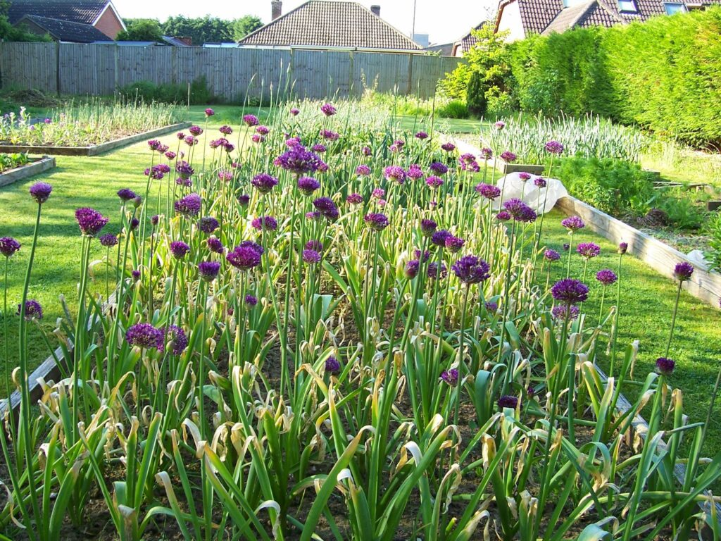 Peacock Cottage Flowers grows purple alliums for cutting in spring