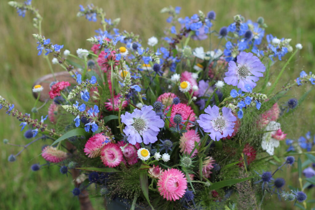 A bucket of British cut flowers packed full of delicate varieites in blues and pinks: cornflowers, strawflowers, scabious, blue alkanet, the tiny daisy form of ammobium Winged Devil, and the blue thistleheads of sea holly. Photo: Ravenshill Flowers