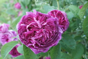 Stokesay Flower Rose Charles de Mills - a deep pinky purple ruffle centred beauty packed with perfume.