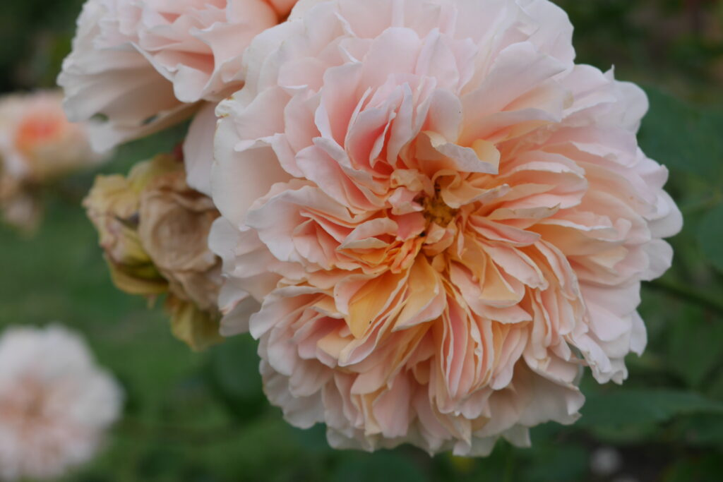"""Soft peach scented rose """"Tea Clipper"""" grown by Stokesay Flowers"""