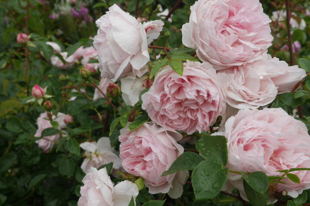 Stokesay Flowers Wildeve pink rose