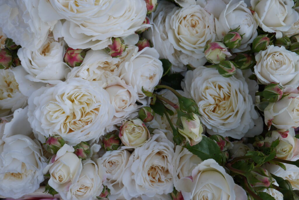 Stokesay Flowers grows this gorgeous ruffled creamy rose called Tranquility