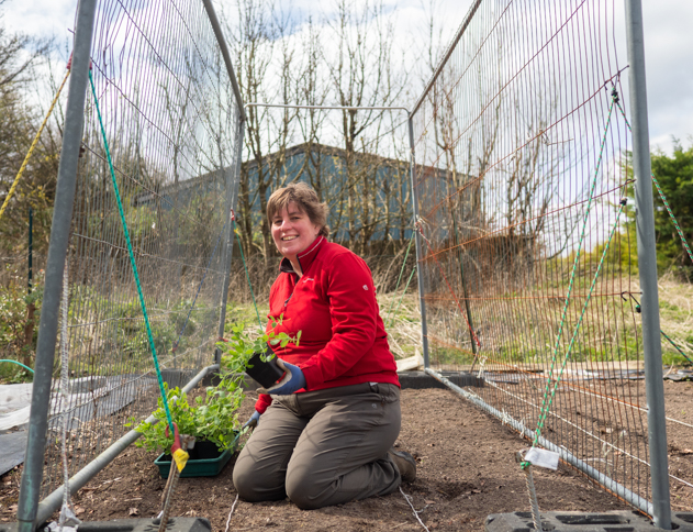 Sweet peas being planted to grow up Heras Fencing at Plantpassion in Surrey. Photo by Kerry J photo