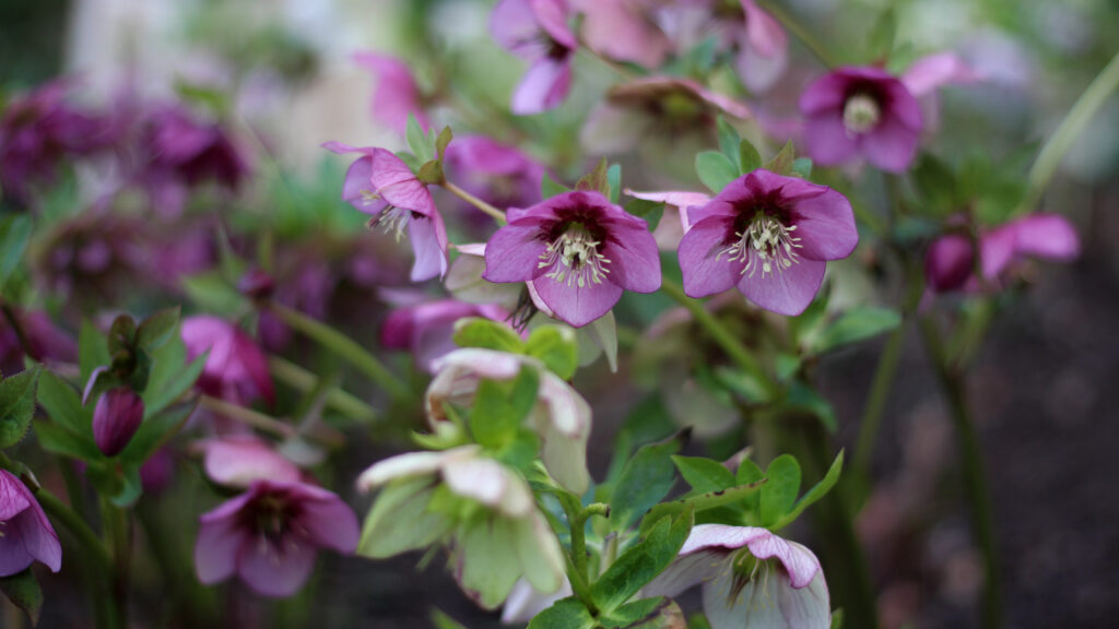 Hellebores in shades of pink and white fill a shady border. Photo: Tuckshop Flowers