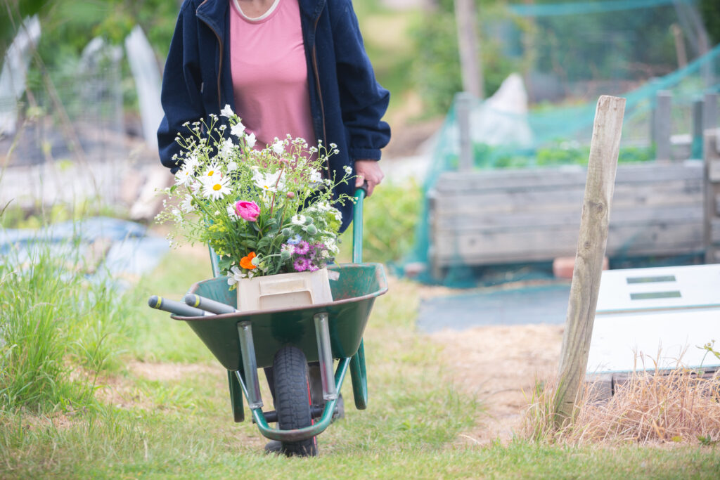 Carole of Tuckshop Flowers pushes her wheelbarrow back home from the allotment. In it is a bucket of bright cut meadow style flowers.
