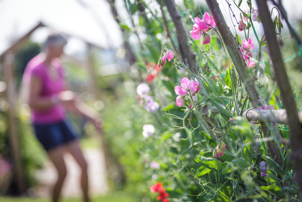 Sweet peas, a truly fragrant cut flowers, clamber up hazel supports at Cotswold Country Flowers.