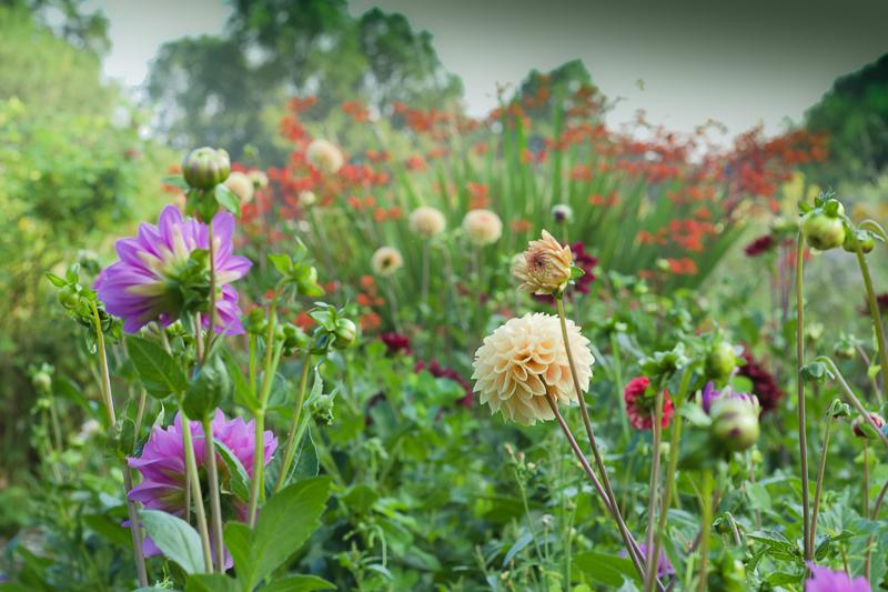 Glorious dahlias for cut flowers growing at Tuckshop Flowers allotment.