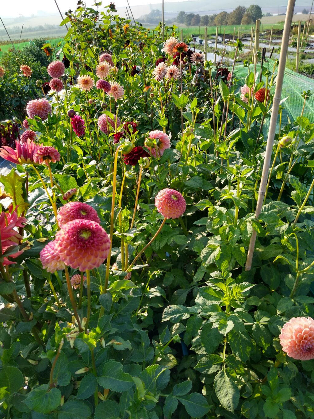 Peach pom pom dahlias seen here growing in the flower field at Nature's Posy.