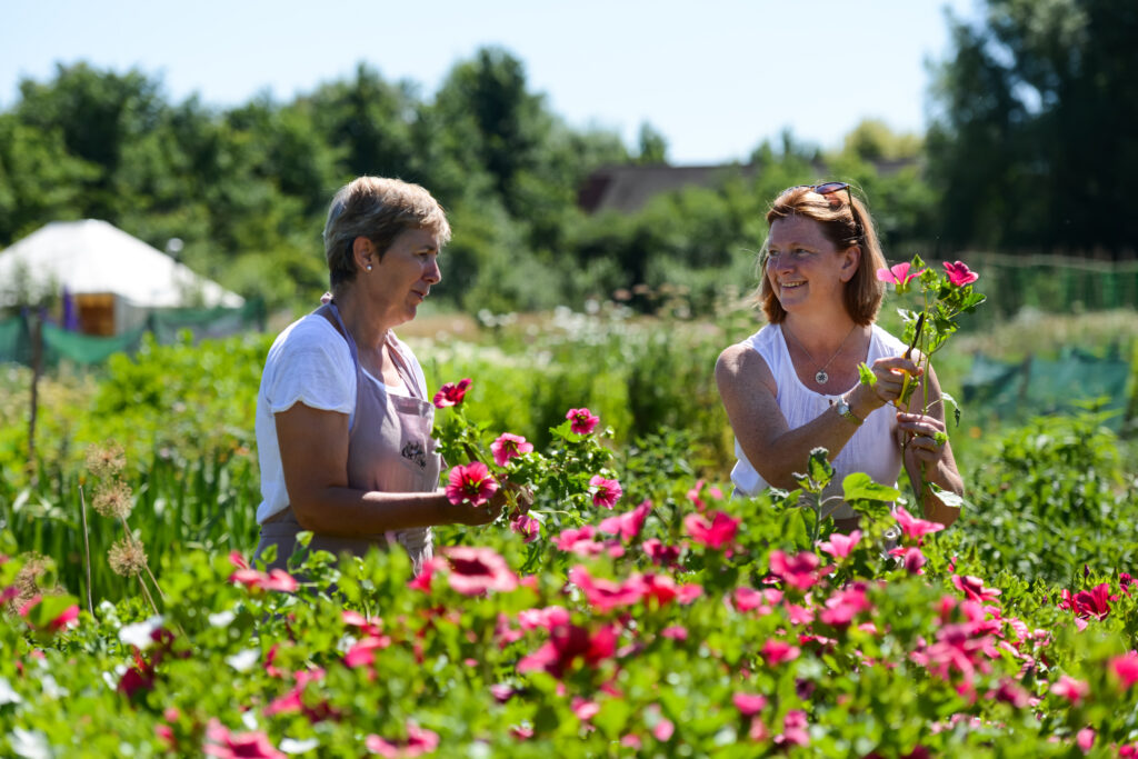 Wendy and Jo of Organic Blooms pick bright pink malope in the sunshine on their Somerset flower farm, which is also a social enterprise.