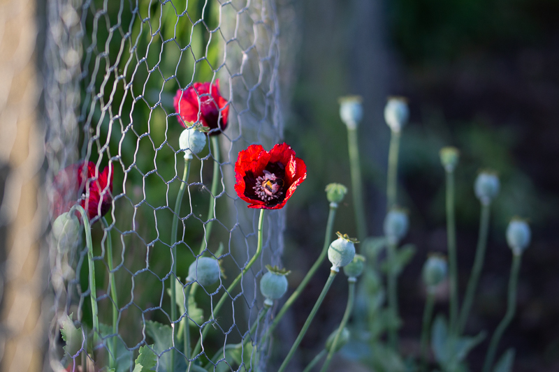 Escaped poppies grow through chicken wire at the allotment.