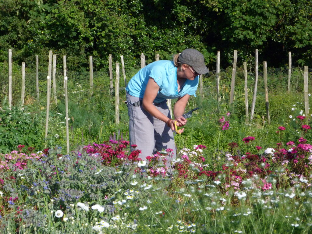 cutting beautiful British flowers at Sussex Cutting Garden in high summer from the flower field