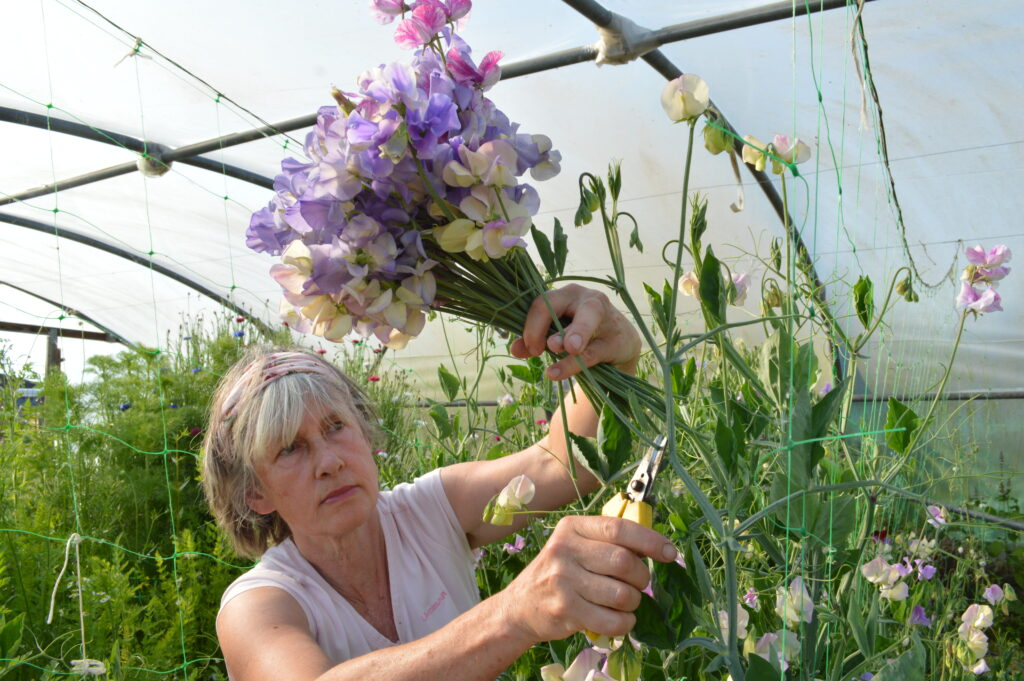 cutting sweet peas in the polytunnel at Sussex Cutting garden