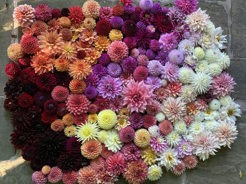 Justdahlias makes a massed display of colourful flower heads in organises, pinks, purples and yellow