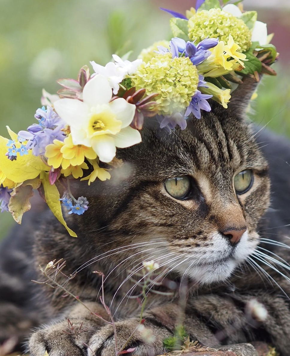 Flowers by the Bridge tabby cat sports a flower crown with narcissi, primroses and bluebells.