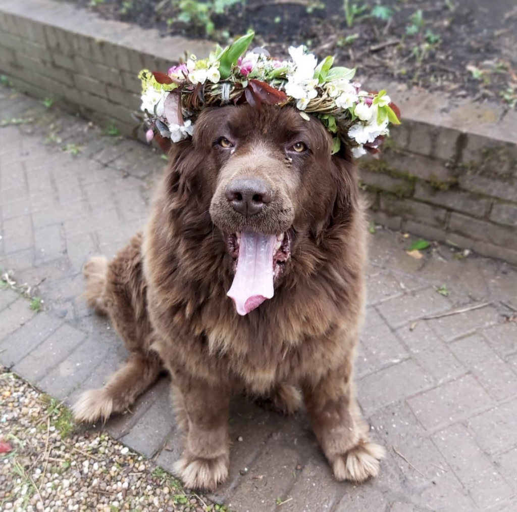 Cocoa doing her bit for dogs in crowns for National Garden Day UK at Camomile and Cornflowers