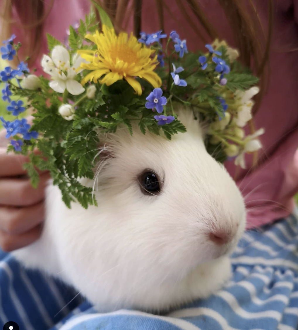 Rose and Rhubarb's guinea pig in a mini crown for National Garden Day UK