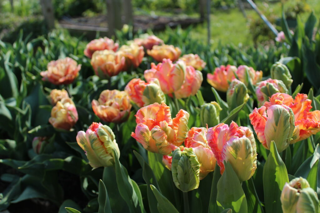 Apricot Parrot tulips growing in the plot at The Floral Potager