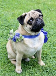 Barry the Pug wears a blue ribbon colour with cornflowers for a summer wedding. Tuckshop Flowers