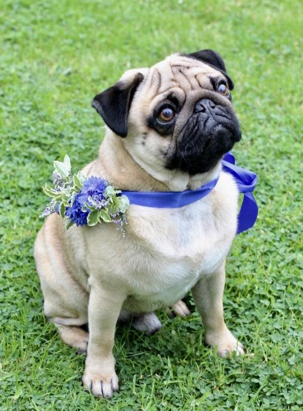 Barry the Pug wears a blue ribbon collar with a cornflowers corsage by Tuckshop Flowers for a wedding.