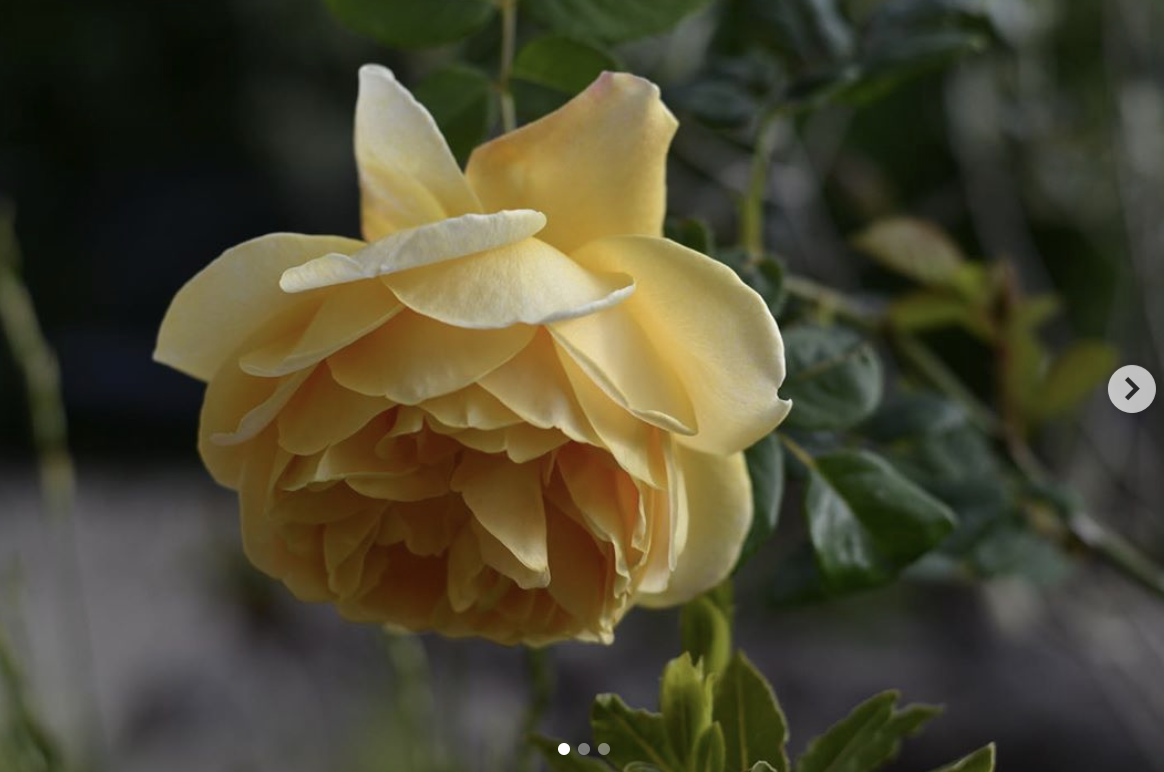 The perfect yellow rose - Harebell and Bee, The Forest of Dean
