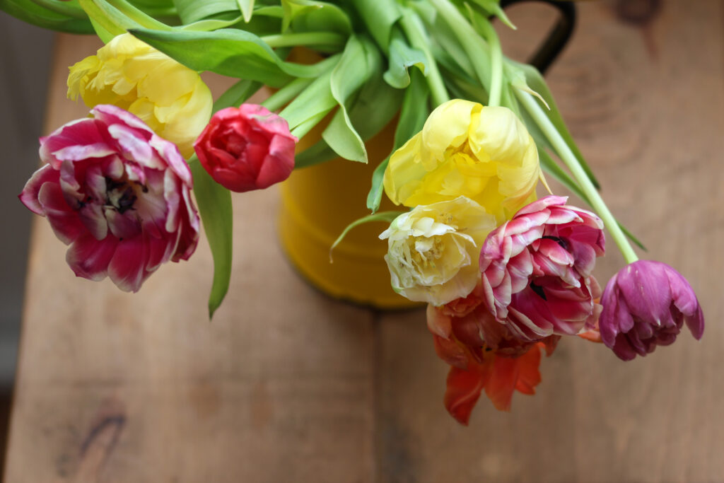 A close up of a rainbow of double tulips in red, pink, orange and violet shades