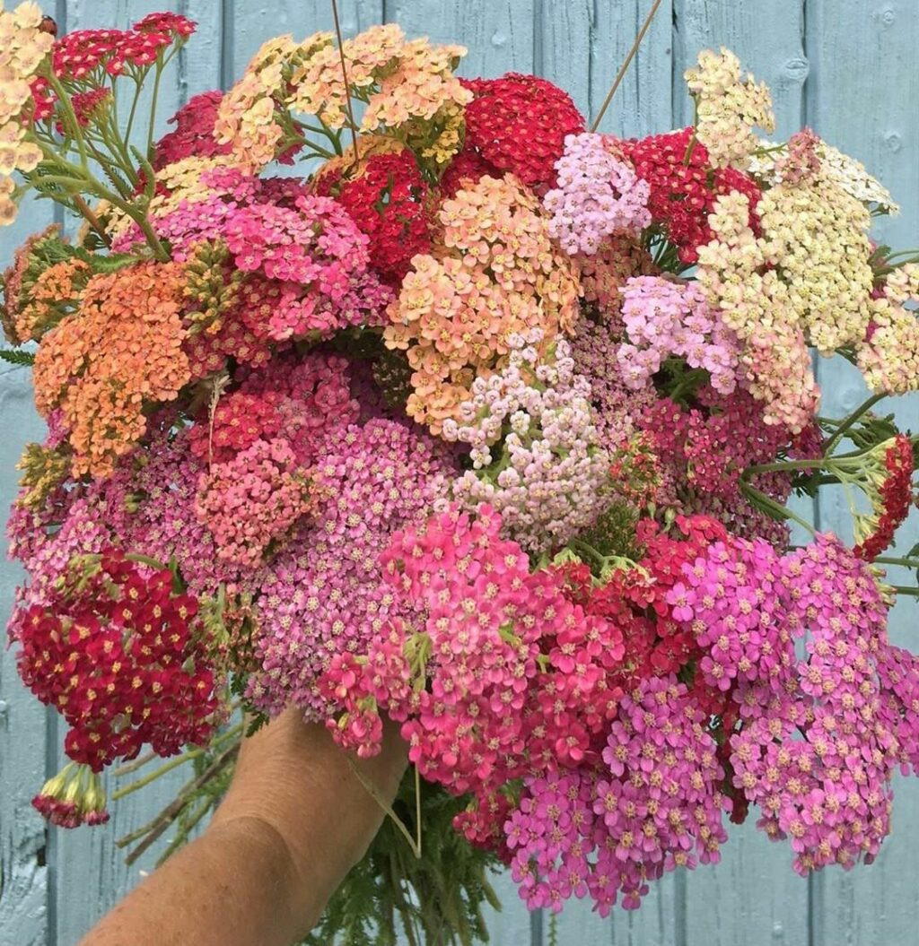 achillea in shades of pink and terracotta grown by The Forgotten Garden