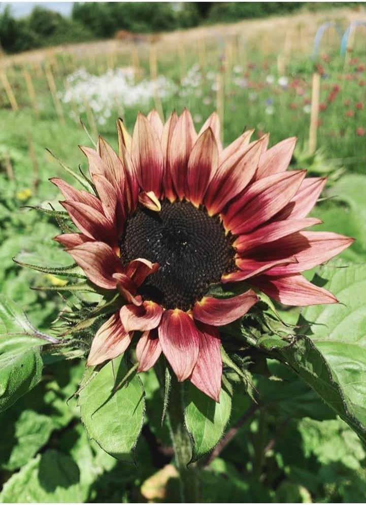 Deadhead Flower farm. A bronze coloured sunflower growing in the flower field