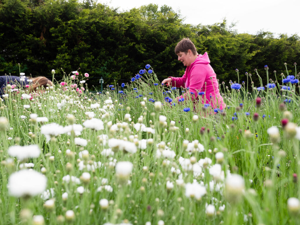 White cornflowers being picked at Plantpassion in Surrey, Photo by Kerry J Photo.