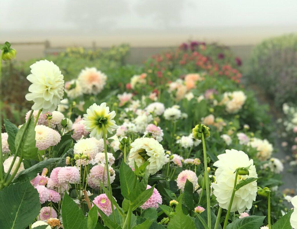 Dahlias growing in a British flower field.